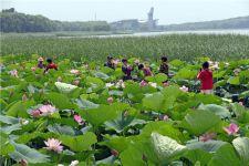 辽宁省铁岭市莲花湖湿地公园内成片的荷花竞相开放