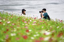 重庆市巴南区木洞镇长江岸边的格桑花竞相开放