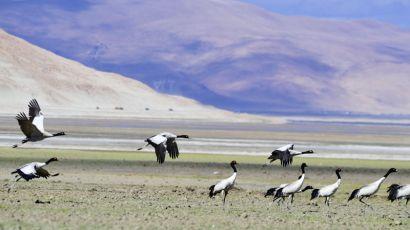 多庆湖畔黑颈鹤(图)
