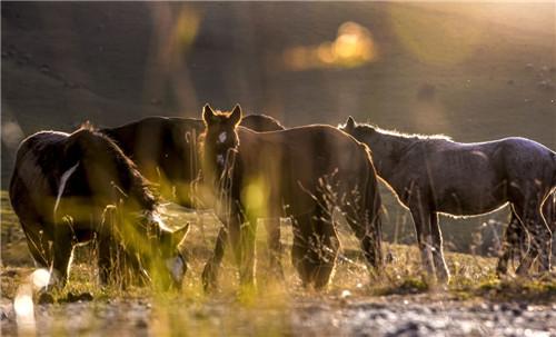 在江布拉克风景区内,几匹马在草地上吃草