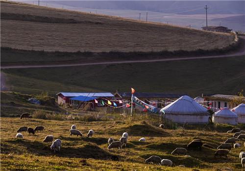 在江布拉克风景区内,一群羊在草地上吃草