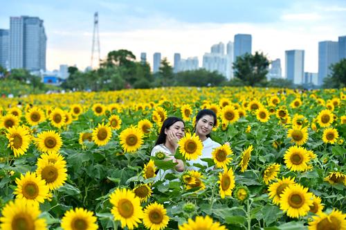 9月26日,两名女子在福州花海公园向日葵花田中拍照。
