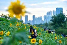 福州花海公园的向日葵(图)