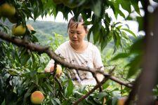 湖南麻阳:黄桃进入成熟期 盛夏时节摘桃忙