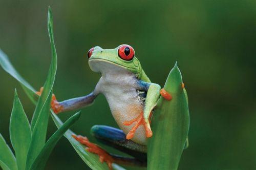 哥斯达黎加科科斯岛上的树蛙