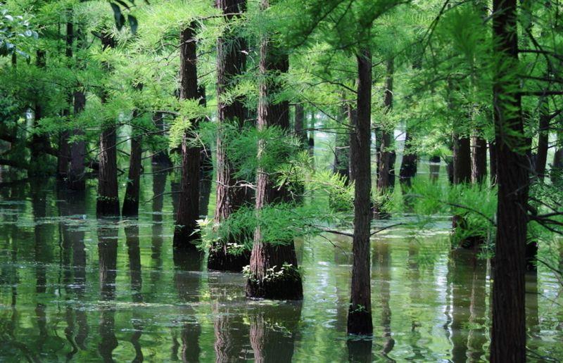 水上公园中的水杉