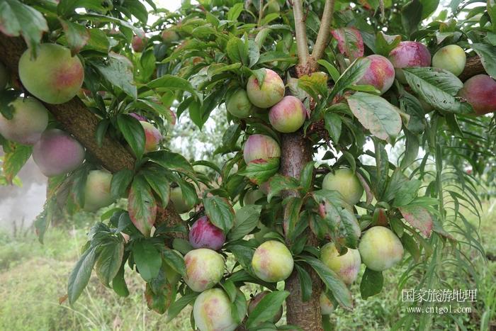 图8:7万亩果树成为农民脱贫致富奔小康的摇钱树   唐探峰摄