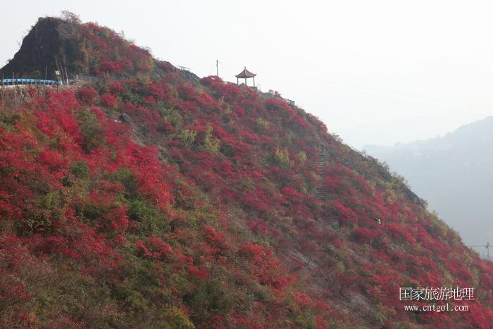 图19:紫阳台景区红叶似彩霞   唐探峰摄