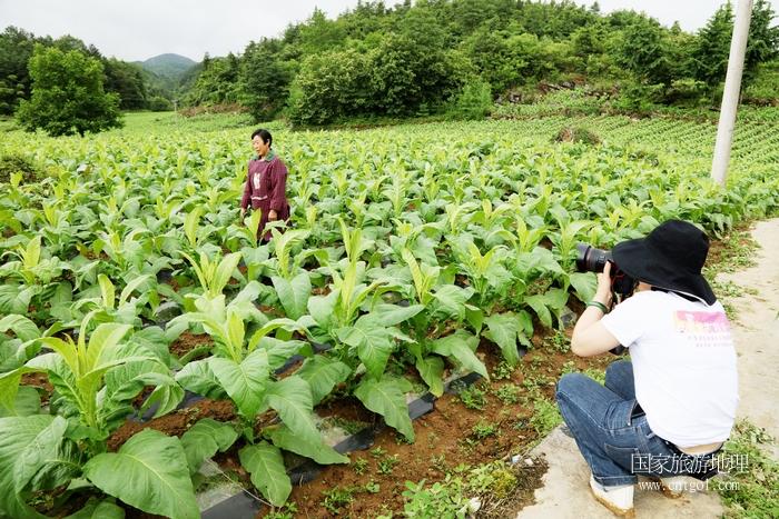 图13:高山科技种植烤烟成为农民脱贫致富路    唐探峰摄