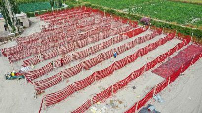 天山南簏辣椒丰收 农民增收笑开颜 50余万亩辣椒进入采摘期