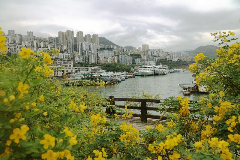 图2:巫山旅游码头槐花香   唐探峰摄