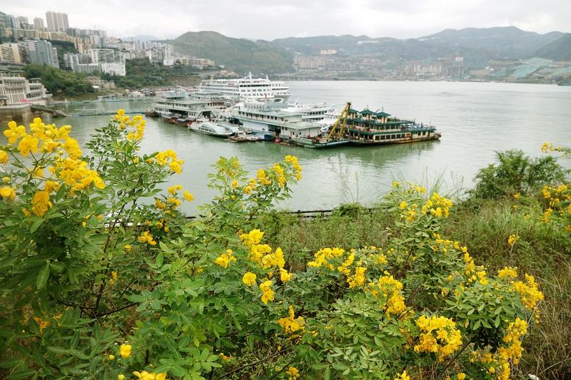 图6:三峡水库175米蓄水,巫山港岸黄花满湖馨香   唐探峰摄