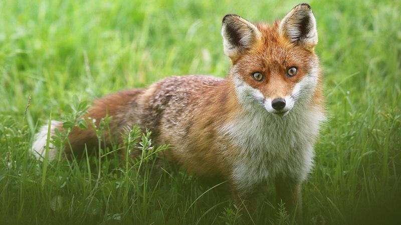 草丛中可爱的小狐狸