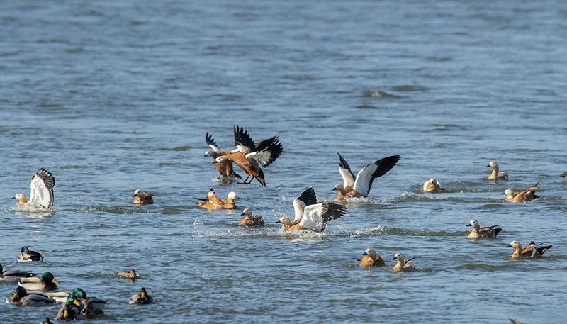 湖里的赤麻鸭