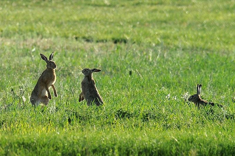 牧场上的野兔