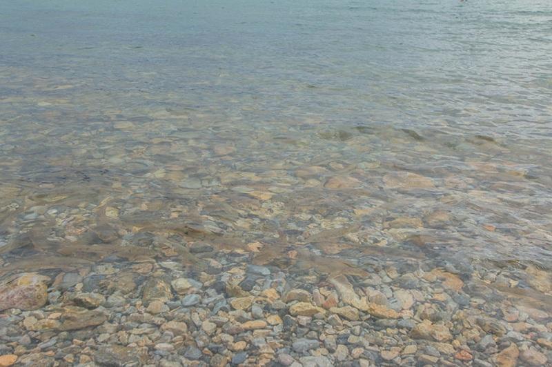 纳木措湖中的鱼儿群