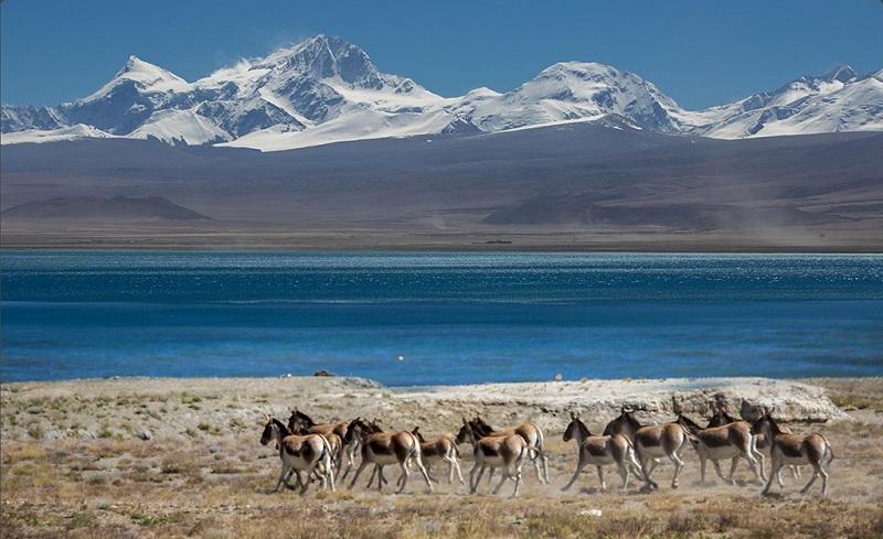 西藏纳木措野驴群