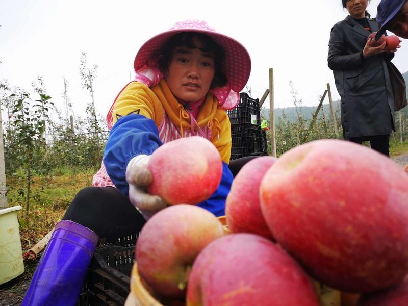 村民代艳花在为苹果分级。