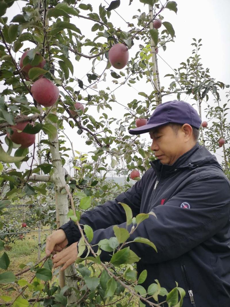 云南佳都建设有限公司总经理谭国荣对果树新枝条进行处理。
