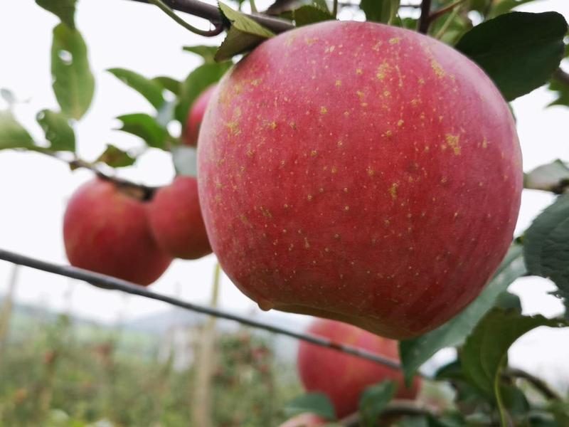 鲜艳红润的大苹果挂满了枝头。