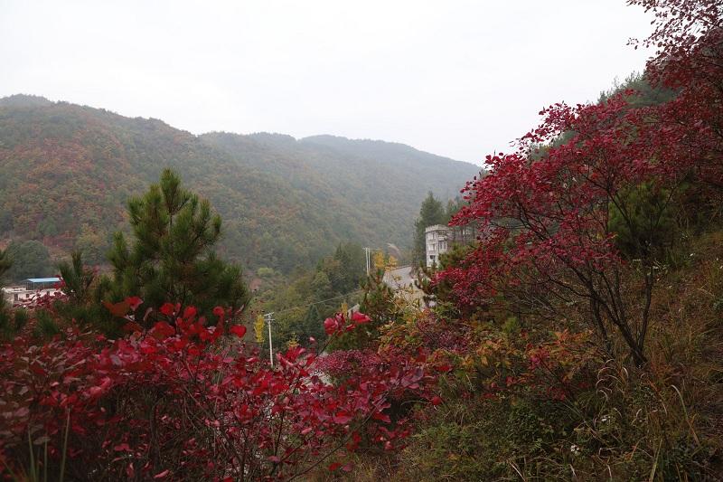 图1:巫峡南岸建平乡中伙村六社红叶彩叶争相媲美   唐探峰摄