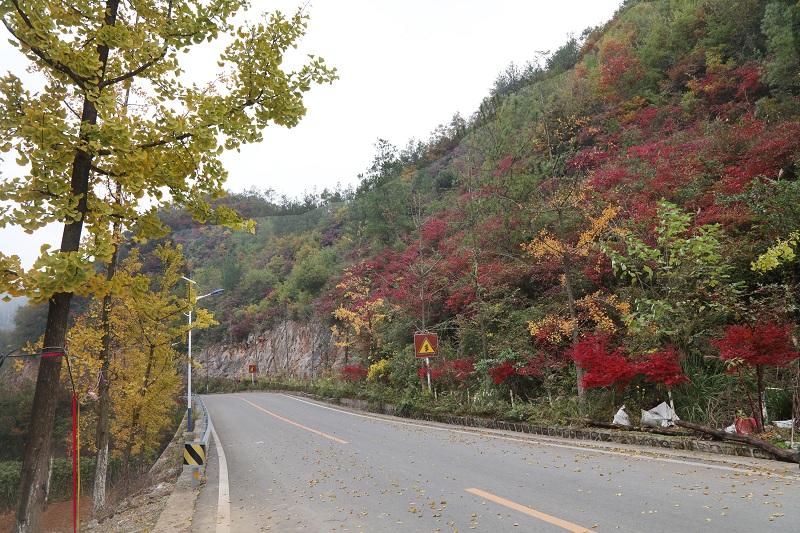 图2:神女景区南环线黄岩红叶局部开始绽红颜   唐探峰摄