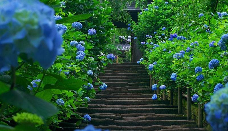 镰仓的紫阳花