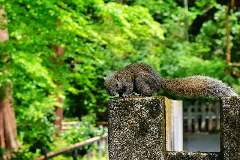 镰仓可爱的小松鼠