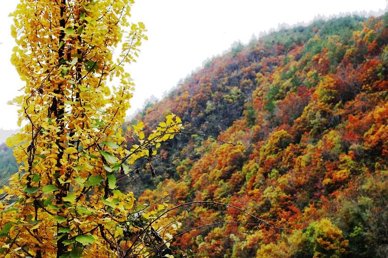 图2:彩叶满山金叶耸天   唐探峰摄