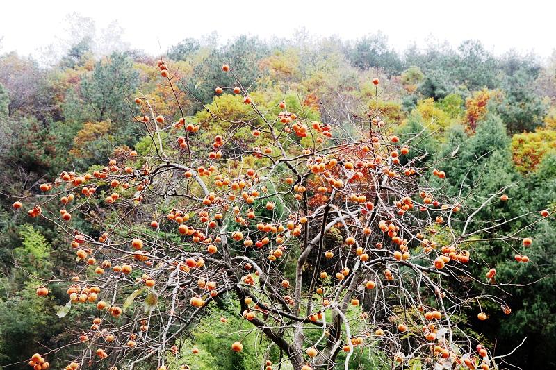 图7:红灯笼挂在彩叶中   唐探峰摄