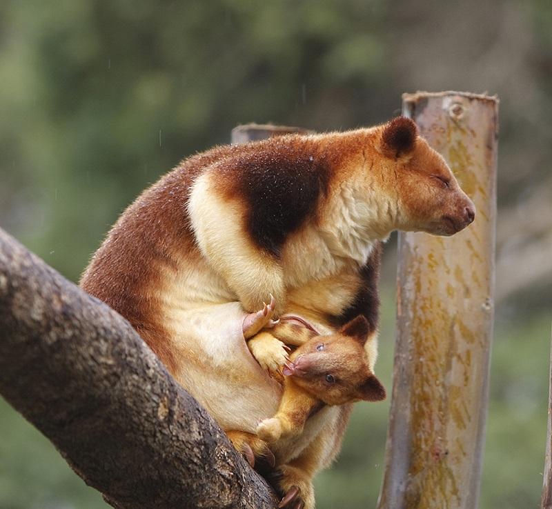 巴布亚新几内亚可爱的树袋鼠