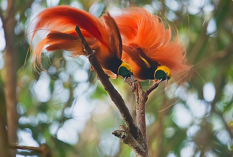 巴布亚新几内亚美丽的极乐鸟
