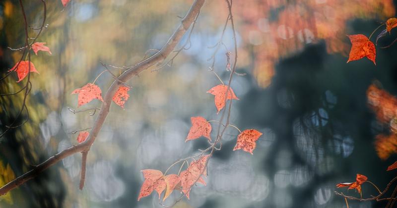 红是枫叶醉,碧波疑是春。