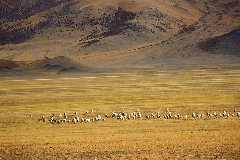 阿里藏北大草原冬日牧场羊群