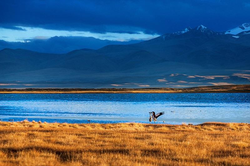 阿里藏北大草原冬日仙鹤起舞