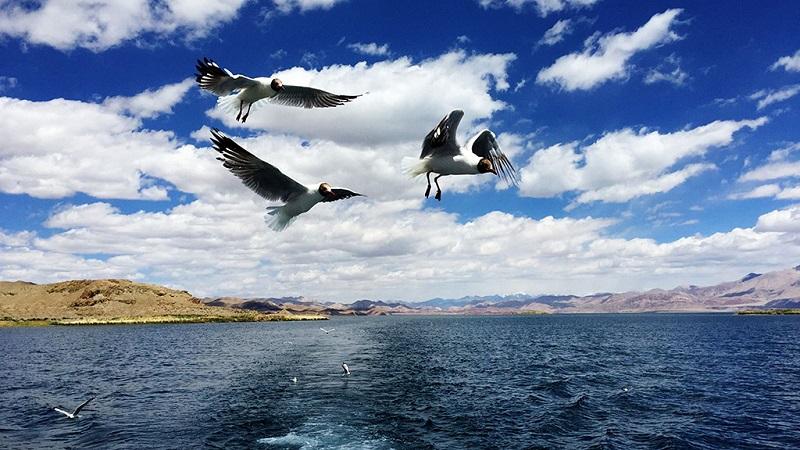 班公湖里美丽的海鸥棕头鸥
