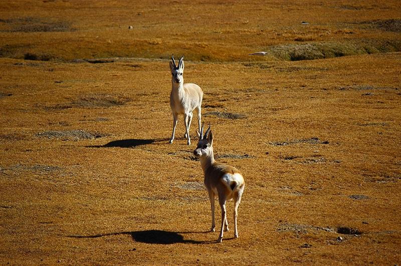 可爱的藏羚羊