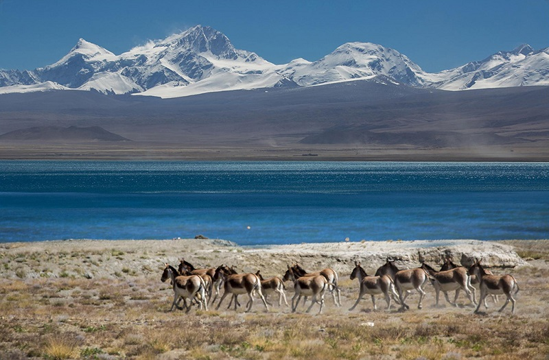 西藏阿里的野驴