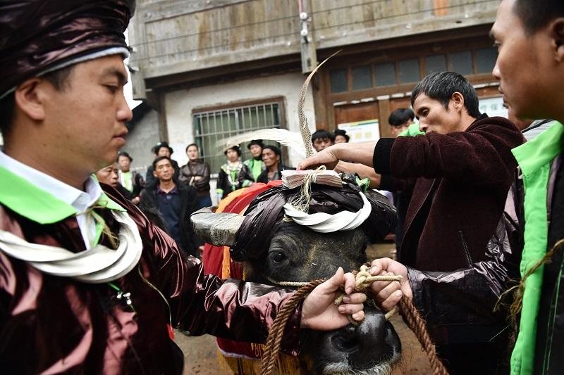 2020年11月16至18日,貴州省黔東南苗族侗族自治州從江縣加勉鄉黨港村舉行24年一度鼓藏節活動。圖為給鼓藏水牛扮裝準備轉塘