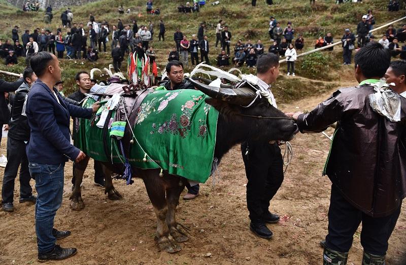 2020年11月16至18日,貴州省黔東南苗族侗族自治州從江縣加勉鄉黨港村舉行24年一度鼓藏節活動。圖為鼓藏家族牽水牛轉塘祭祖
