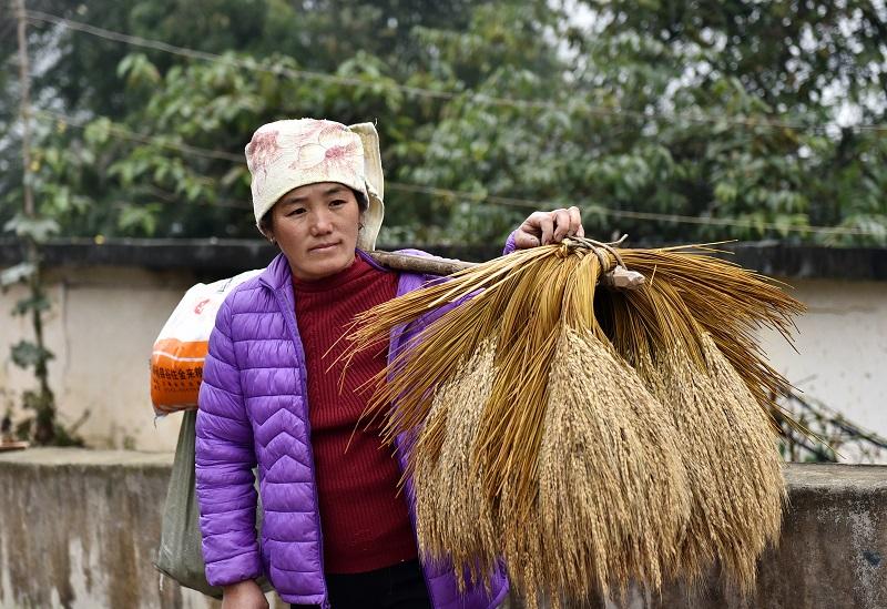 2020年11月16至18日,貴州省黔東南苗族侗族自治州從江縣加勉鄉黨港村舉行24年一度鼓藏節活動。圖為客人挑香禾糯來送禮