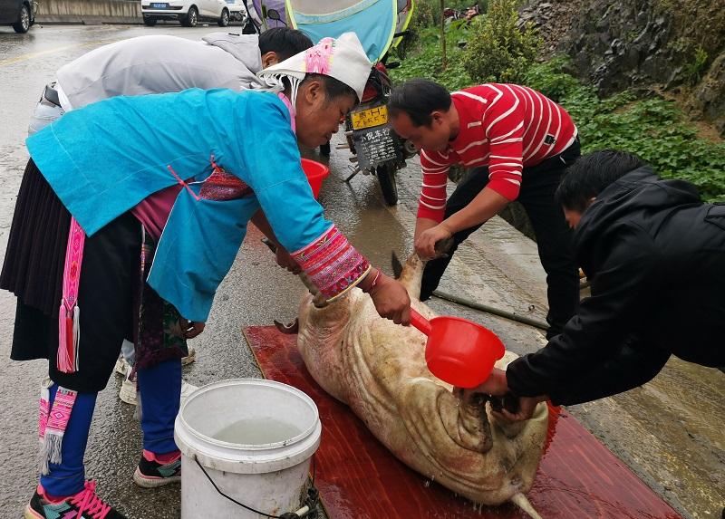 2020年11月16至18日,貴州省黔東南苗族侗族自治州從江縣加勉鄉黨港村舉行24年一度鼓藏節活動。圖為親朋好友幫忙殺豬