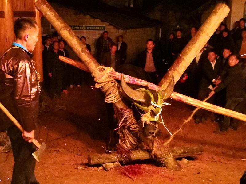 2020年11月16至18日,貴州省黔東南苗族侗族自治州從江縣加勉鄉黨港村舉行24年一度鼓藏節活動。圖為殺鼓藏水牛祭祖9