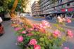 杭州西溪路上的玫瑰花:这是种走入你心的美好