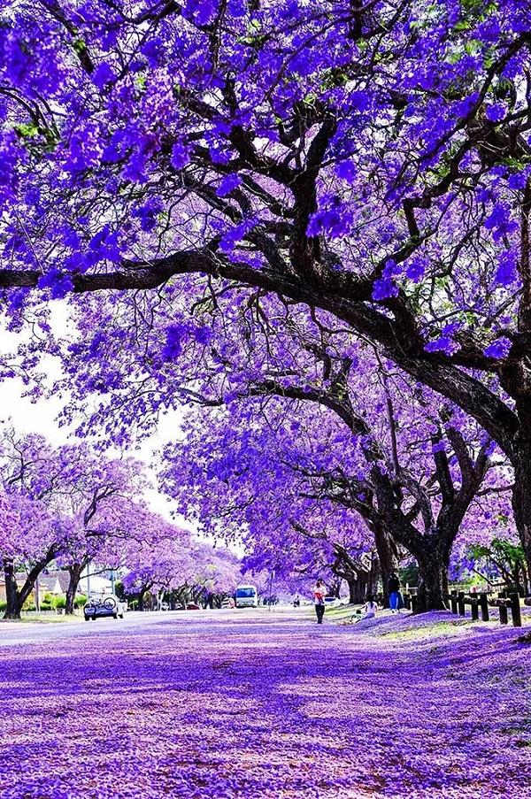蓝花楹树下
