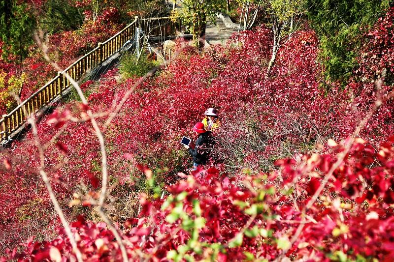 图12:两位老人红叶景区拍照流芳   唐探峰摄