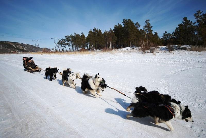 雅库茨克狗拉雪橇