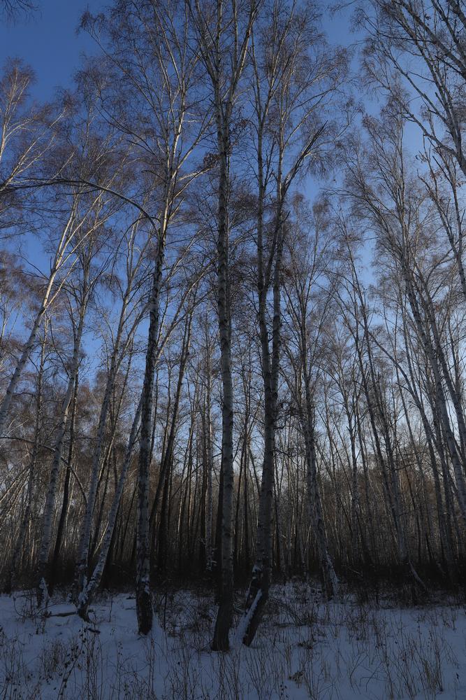 高耸的白桦林