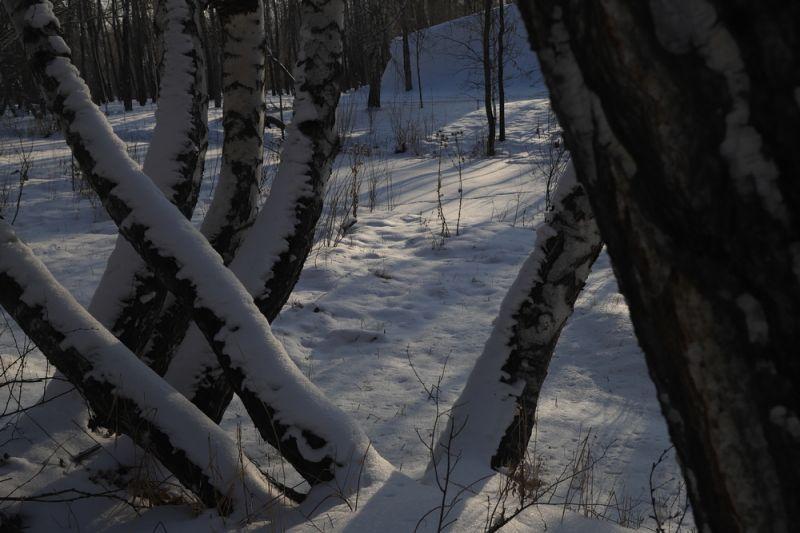 百态丛生的白桦树