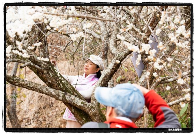 4、2021年1月13日,摄影爱好者在苍梧县狮寨镇古东村欣赏雪白的青梅花同时为游客拍摄(何华文)